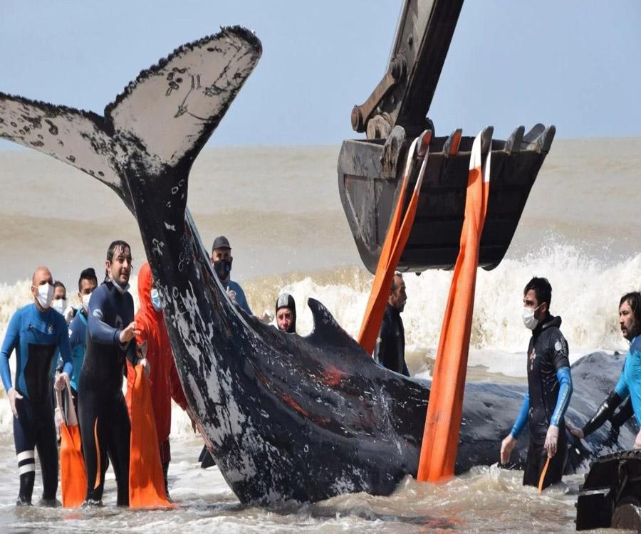 En videos: mirá el salvataje de ballenas varadas en la costa bonaerense